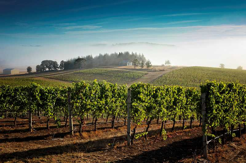 SUBMITTED PHOTOS: CAROL WELLS KRAME - Though wine production was down in 2016, revenue was up, indicating that Oregon wine consumers are drinking wine at a higher price per bottle. This is a view of Van Duzer Vineyards.