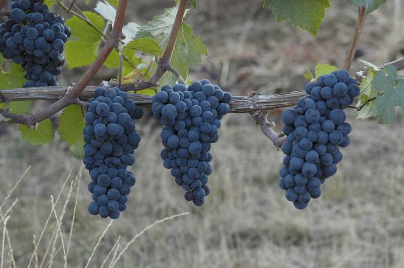 Pinot noir is Oregons leader in vineyard planted acreage, accounting for 64 percent of all planted acreage, and generating a production value of over $111 million.