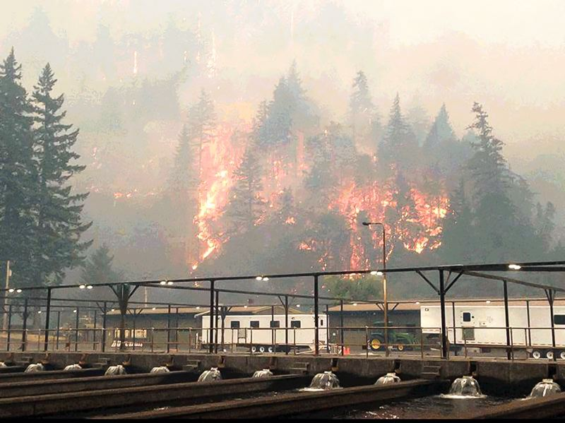 COURTESY PHOTO - The Eagle Creek Fire burns Monday on the hillside near the Cascade Salmon Hatchery at Eagle Creek. The proximity of the fire led officials to intentionally release juvenile salmon from the hatchery, and then evacuate hatchery employees out of harm's way.