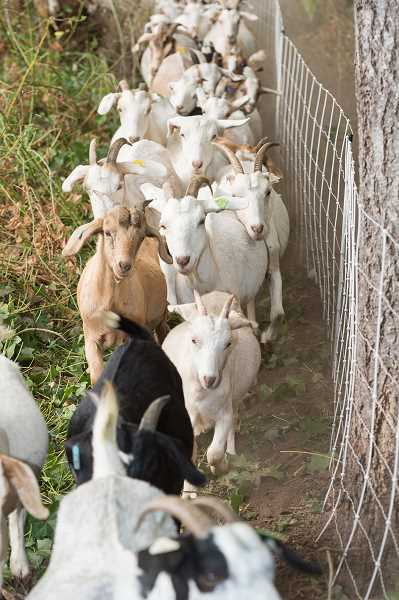 NEWS-TIMES PHOTO: CHRISTOPHER OERTELL - When one goat headed to a new part of the forest, the others followed.