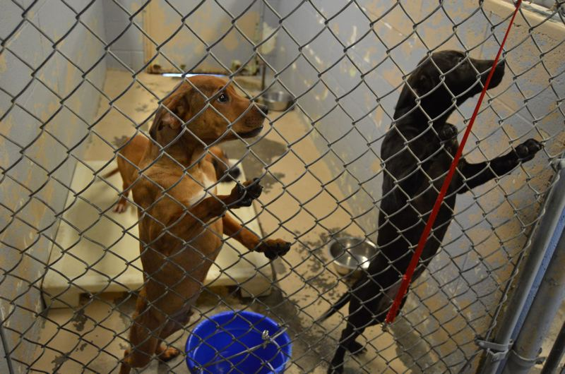 PAMPLIN MEDIA GROUP FILE PHOTO - Dogs and other small animals displaced by Oregon's wildfires may be able to find free boarding at VCA Animal Hospitals around the region. (These dogs were not displaced by the wildfires.)