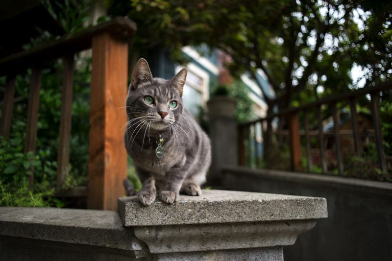 COURTESY: MAX OGDEN - Tracking cats in neighborhoods and taking their photos is a passion for Oregon native Max Ogden, 28. 'I swear, every cat has its own unique set of personality traits. They're complex animals,' he says.