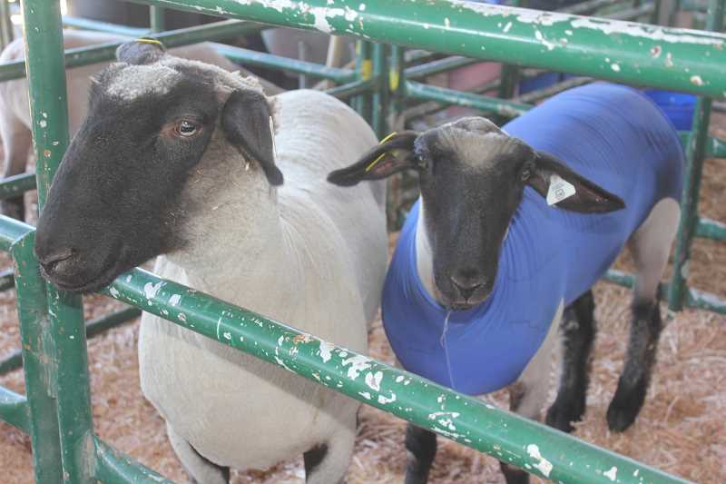 PIONEER FILE PHOTO - Sheep at this year's fair.