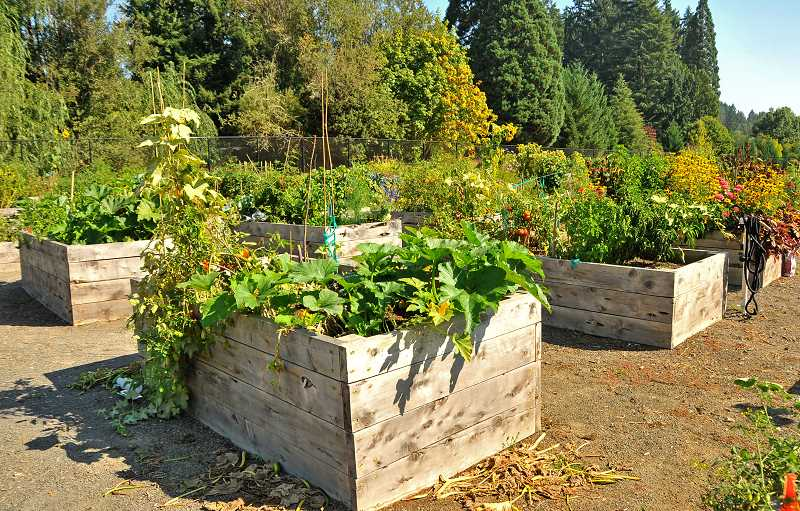 SPOKESMAN PHOTOS: VERN UYETAKE - Wilsonville Community Garden was relocated this year, to a sunnier section of Memorial Park, and was fillled with produce and flowers of all kinds.