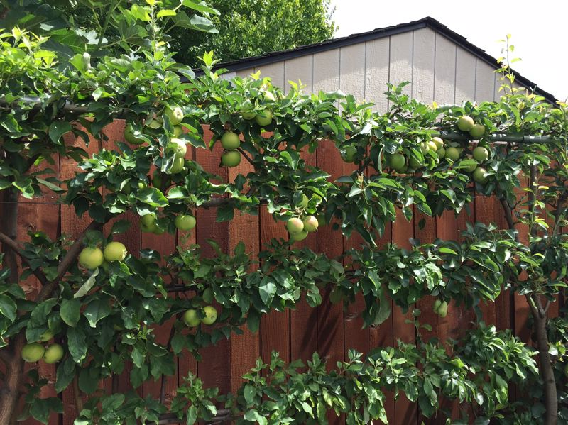 SUBMITTED PHOTO - Harry Olson perfected his system over the past 10 years while living and gardening in a small city lot in Salem.