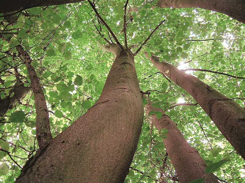 REVIEW FILE PHOTO - Lake Oswego's Tree Code was revised last year based on the recommendations of an ad-hoc committee, whose 30-plus members spent nine months working to simplify the tree-removal process while not endangering the city's overall tree canopy.