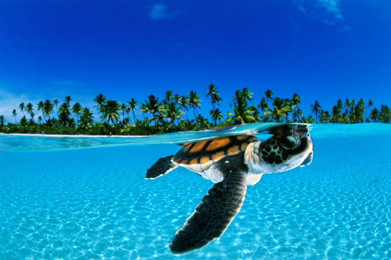 COURTESY: DAVID DOUBLETCOURTESY: DAVID DOUBLETCOURTESY: DAVID DOUBLETCOURTESY: DAVID DOUBLET - David Doubilet, who will speak at the Newmark Theatre on Nov. 20, took this stunning photo of a baby green sea turtle in French Polynesia.