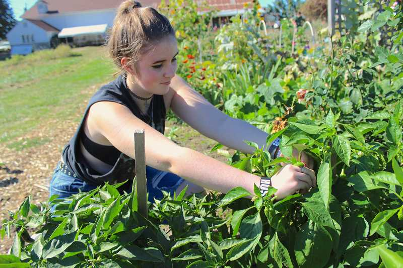 REVIEW PHOTO: SAM STITES - Lake Oswego High School junior Callie Miller harvests romano peppers during an outing to Luscher Farm with her Farm Internship class.