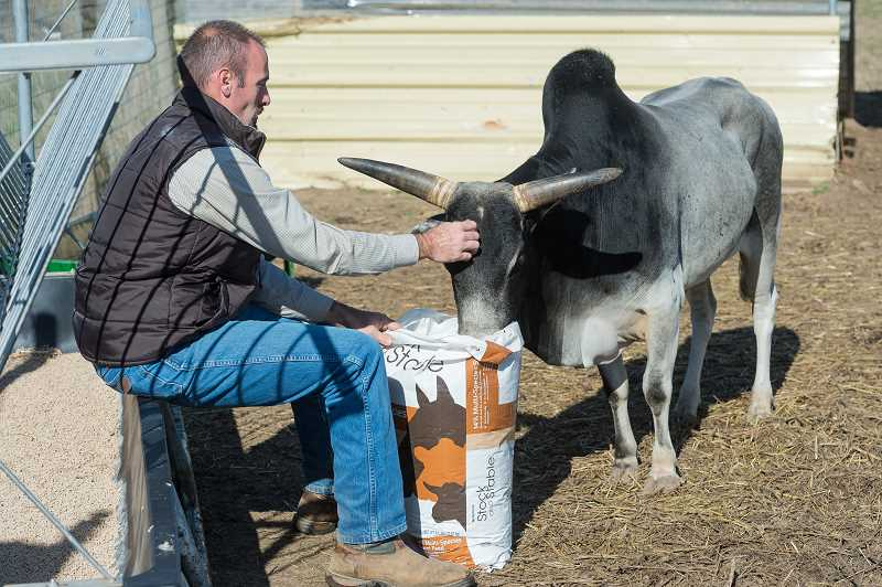 NEWS-TIMES PHOTO: CHRISTOPHER OERTELL - Tom Epler Jr. opens a new bag of feed for one of his miniature zebus at his home south of Forest Grove.