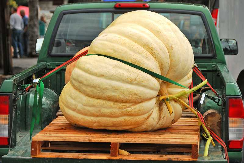 SUBMITTED PHOTO: TRACY FOX - Giant pumpkins like this will be used as watercraft at Tualatins annual West Coast Giant Pumpkin Regatta, taking place Oct. 21. The LOACC is planning a trip, sign up to go along.
