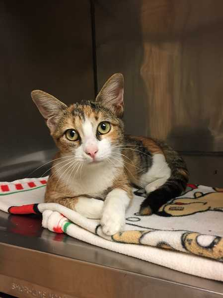 COURTESY OF CAT ADOPTION TEAM - Glitter is one of the most recent additions to the Cat Adoption Team, the result of efforts to help shelters in hurricane-ravaged areas of Texas. A total of 30 cats are expected in all.