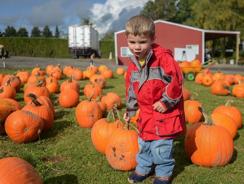 OUTLOOK PHOTO: JOSH KULLA - Robert Feigner, 3, of Gresham, picks out his favorite pumpkin last week at Bushue Farm's pumpkin patch, one of the most popular in the area.