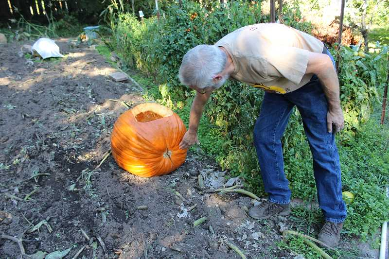 REVIEW PHOTO: SAM STITES - Jef Treece checks on a pumpkin from which he extracted seeds.