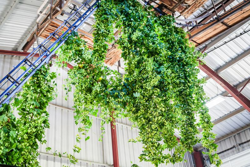 COURTESY PHOTO - It's hops harvest season, and brewers covet farm-fresh hops, which are diverted from the picking machine and sent straight to breweries, where they're used within hours.