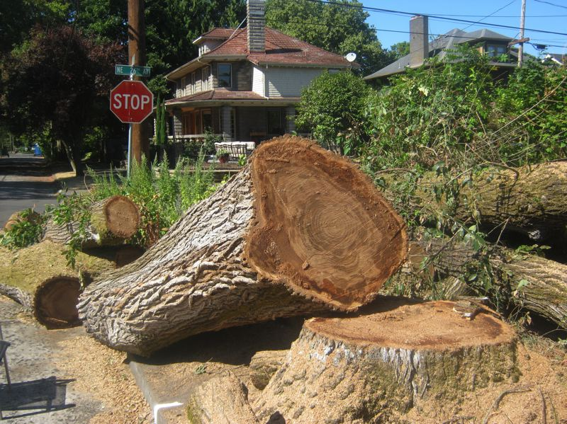 PAMPLIN MEDIA GROUP: MARA STINE  - Elm trees tend to be huge, so removing them can change the feel of a neighborhood. This is the remains of a tree elm removed on the corner of Northeast 26th Avenue and Brazee Street in Portland.
