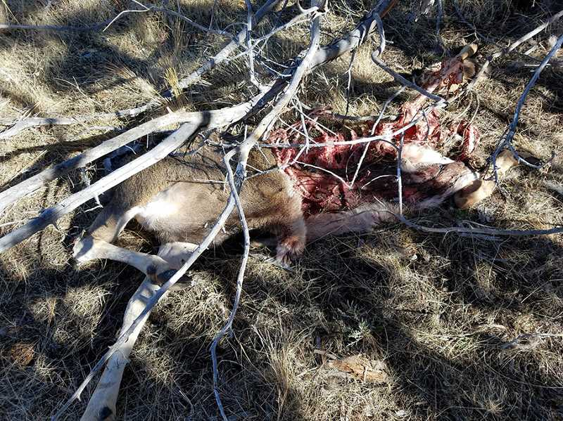 SUBMITTED PHOTO - A poacher or poachers illegally killed two buck deer and left most of their bodies behind on Cold Camp Road, near Ashwood, sometime during the weekend of Oct. 20-22. Anyone with information on the poachings is urged to call the TIP hotline at 1-800-452-7888.