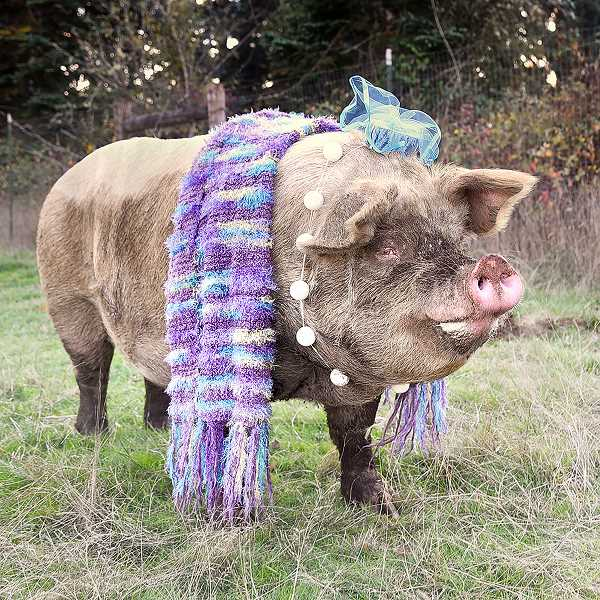 CONTRIBUTED PHOTO: BETH REDWOOD - Barbie the farm pig was dressed as a society lady during Out to Pasture's annual Trick or Treat for the Animals event.