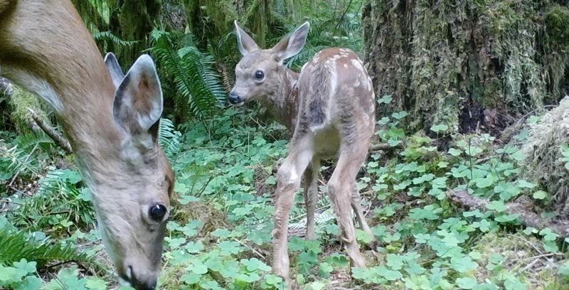 COURTESY PORTLAND WATER BUREAU - Black-tailed deer are among the many animals in the Bull Run Watershed who are known to carry and spread cryptosporidium.