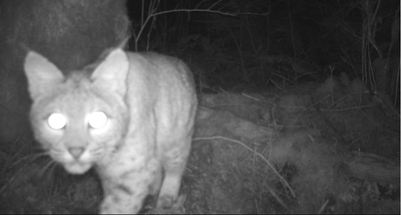 COURTESY PORTLAND WATER BUREAU - A bobcat in the Bull Run Watershed captured by a remote field camera.