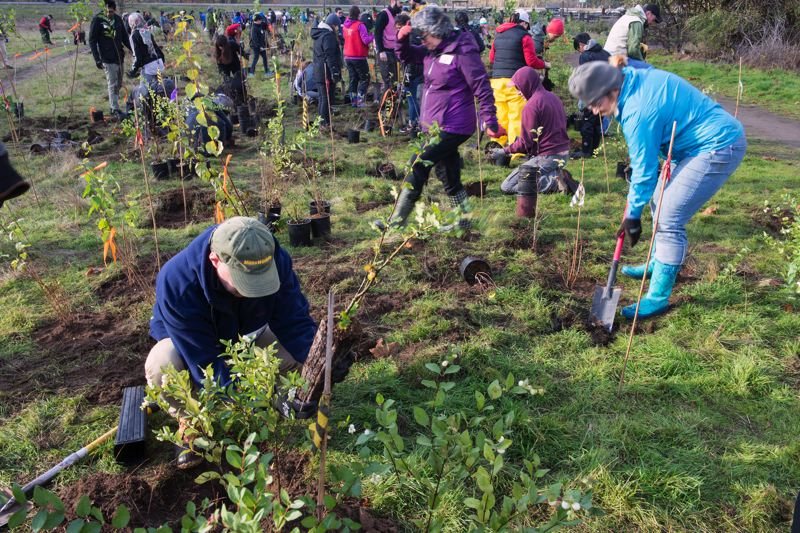 CONTRIBUTED PHOTO: PORT OF PORTLAND  - About 160 volunteers from many organizations converged at Sandy River Delta Park on November 4.