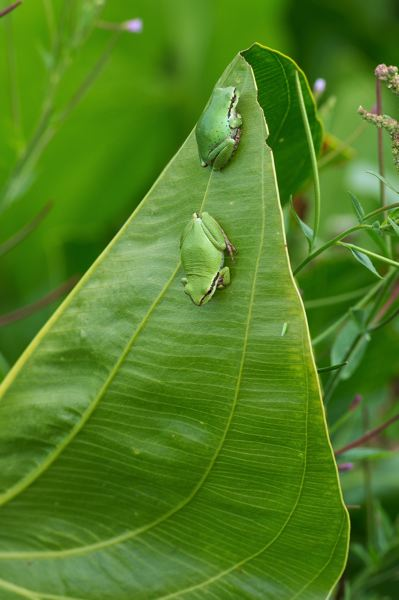 PAMPLIN MEDIA GROUP: CHRISTOPHER OERTELL  - Two frogs hang out on a wapato leaf at Jackson Bottom Wetlands Preserve in Hillsboro.