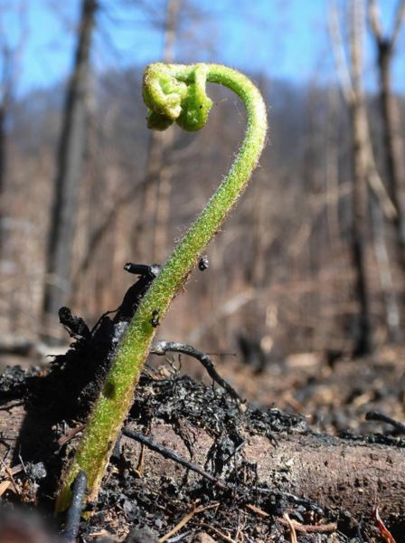 CONTRIBUTED - A green seedling sprouts through soil blackened by the Eagle Creek Wildfire in the Columbia River Gorge.