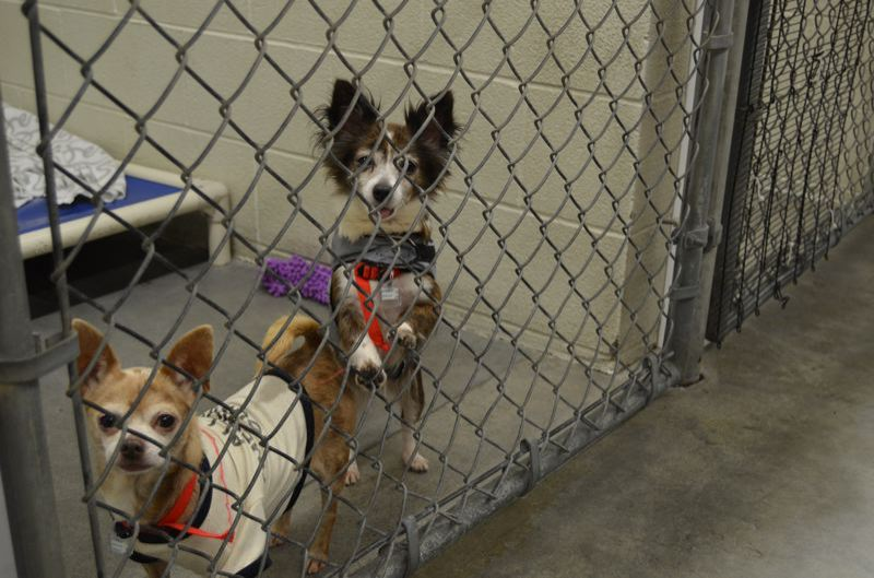 SPOTLIGHT FILE PHOTO - Dogs greet visitors from a kennel at Columbia Humane Society. The shelter announced its contract with Columbia County to care for dogs in county custody was terminated earlier this year.