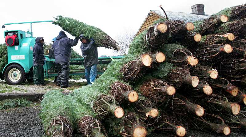PMG FILE PHOTO - Fewer growers mean higher prices for buyers of Christmas trees in 2017, industry analysts say.
