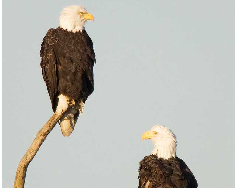 SUBMITTED PHOTO - Eagles can regularly be spotted in winter at the Tualatin River National Wildlife Refuge.