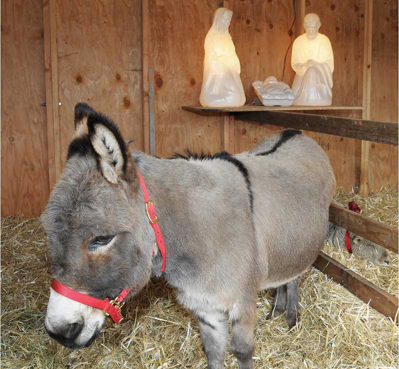 GARY ALLEN - Jamoka, the donkey at the Attrell's Funeral Chapel live nativity, awaits visitors while sheep Buttercup and Sadie rest on warm piles of hay.