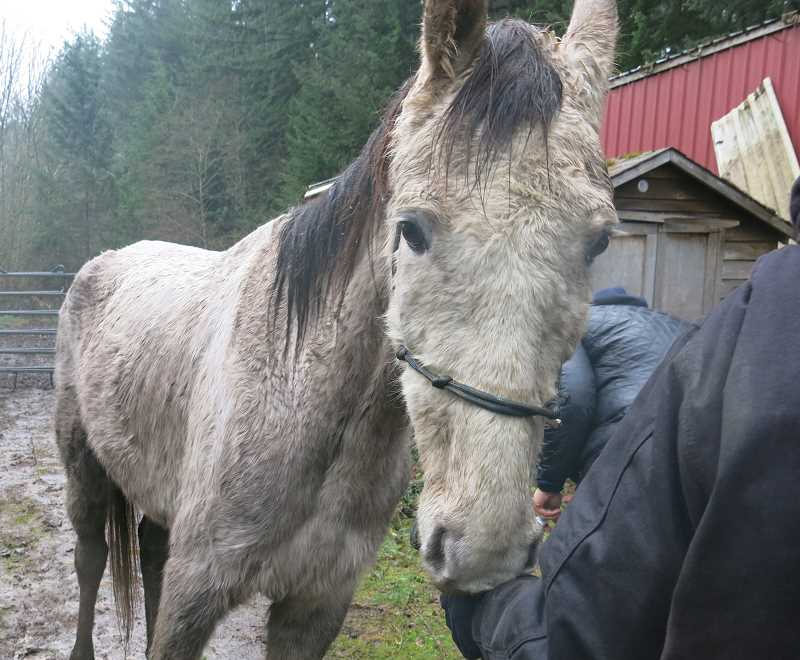 One of the horses rescued by the Oregon Humane Society at a Molalla farm Tuesday morning.