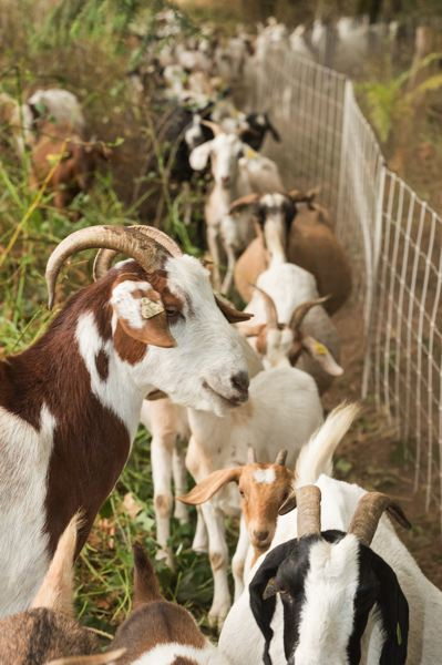 NEWS-TIMES FILE PHOTO: CHRISTOPHER OERTELL - Brought in to help with brush-clearing this summer at Thatcher Park in Forest Grove: this team of hungry goats.