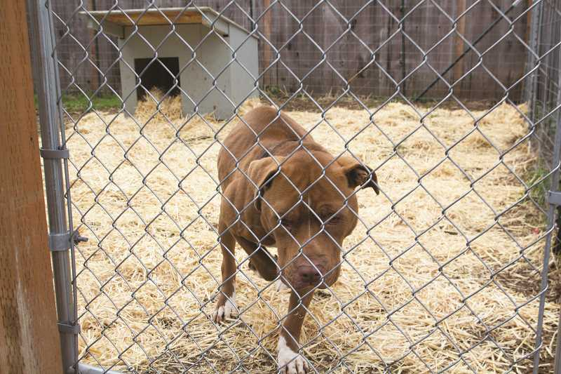 INDEPENDENT PHOTO: JULIA COMNES - Chucko, a pit bull who lives in Woodburn, lived on a chain for about six years. His owner contacted Portland nonprofit Fences for Fido, which has allowed Chucko live a healthier life in a spacious and secure enclosure.