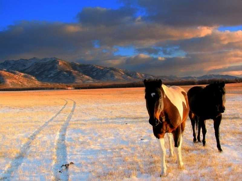 SUBMITTED PHOTO: NICOLETTE HUME - A pair of rodeo horses owned by Nicolette Humes family roam across a frosty meadow after the first snowfall of the year.