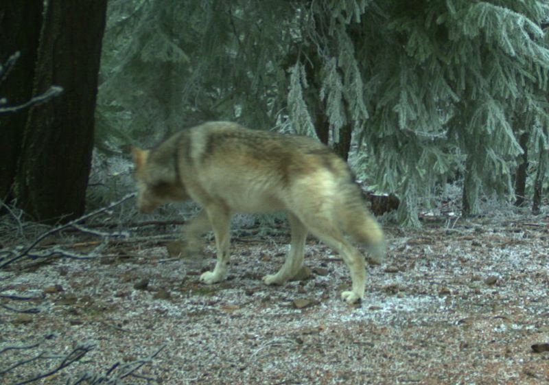 COURTESY PHOTO: OREGON DEPARTMENT OF FISH AND WILDLIFE - The image shows one of two wolves that were captured on film by trail cameras on the east end of the Mt. Hood National Forest.