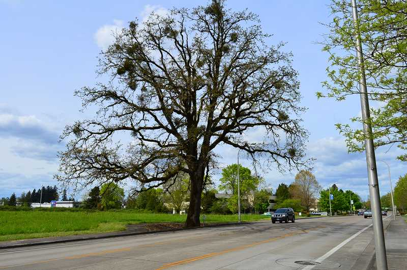 SPOKESMAN FILE PHOTO - Street trees, those growing outside city parks and private property, were inventoried across the city as part of a project lead by interns at Public Works. This  century-old white oak was once located on the Failmezger farm near Boeckman.