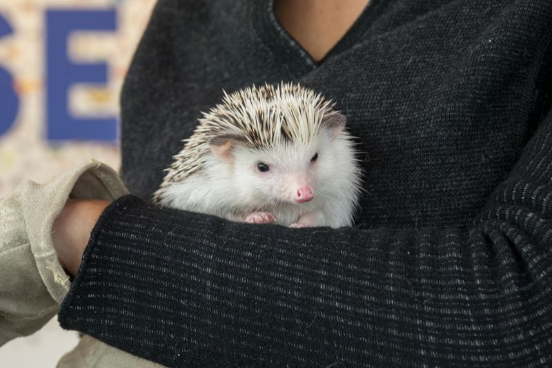 COURTESY PHOTO: KATHY STREET/THE OREGON ZOO - The Oregon Zoo's hedgehog FuFu gives her spring forecast Friday, Feb. 2, during the zoo's annual Hedgehog Day.