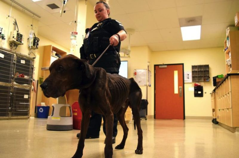 COURTESY DOVELEWIS - Field Services Officer Sophia Condon holds the leash for Dade, 6, a great Dane who weighed just 50 pounds when he was found tied to a pole. His ribs are clearly visible.