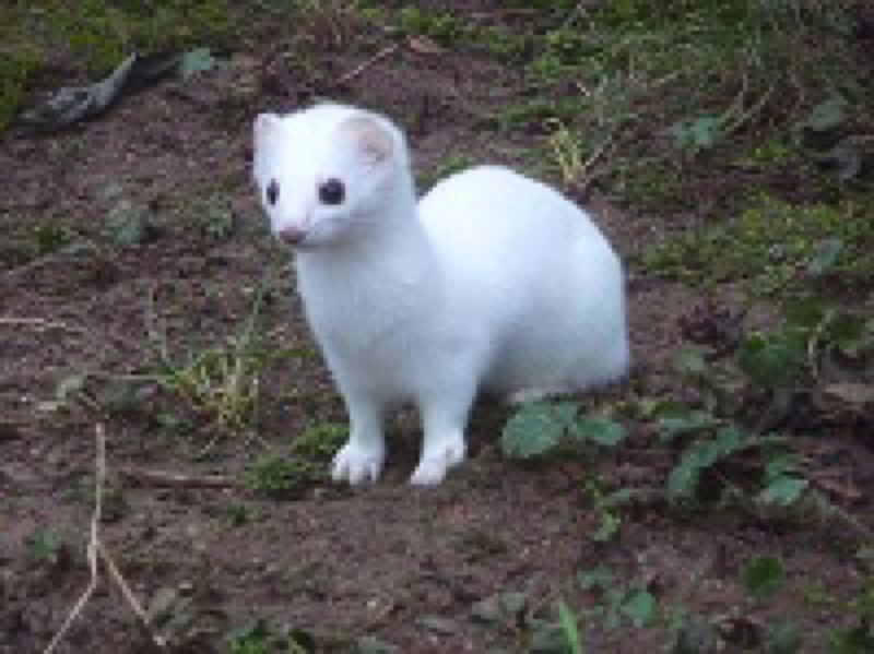 COURTESY PHOTO - The ghost weasel of Gresham.