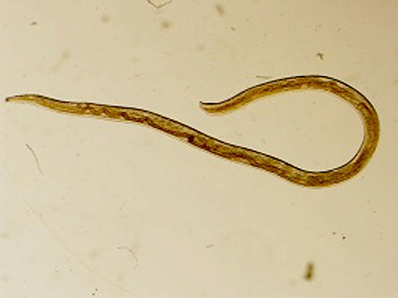 COURTESY PHOTO: CDC - An example of the Thelazia gulosa eye worm found mostly in cattle.