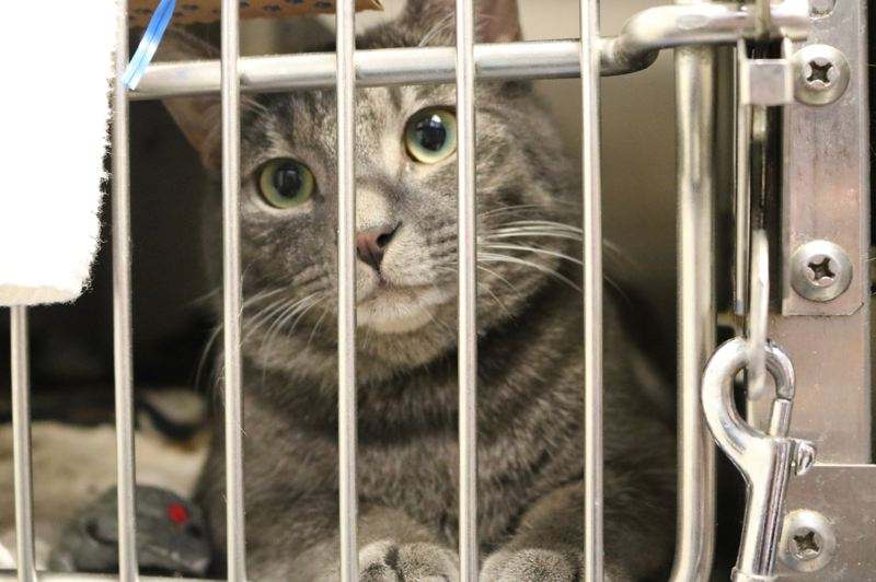 OUTLOOK PHOTO: ZANE SPARLING - Wendell, a grey tabby cat, is looking for work as a rat catcher, the Multnomah County Animal Shelter in Troutdale reports.