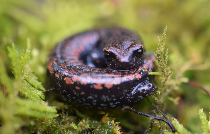 CONTRIBUTED PHOTO: CAROL ZYVATKAUSKAS - Zyvatkauskas discovered a large group of the vulnerable Oregon slender salamanders that live in her backyard.