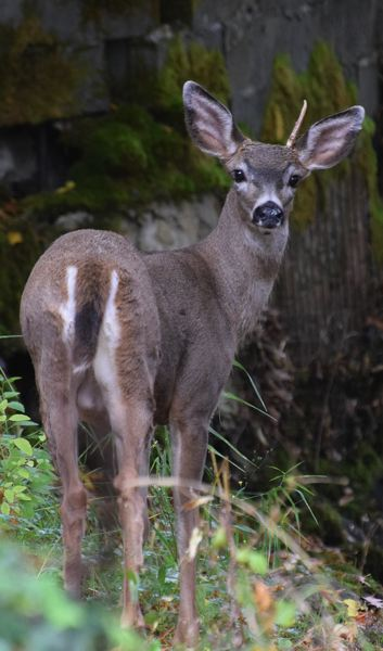 CONTRIBUTED PHOTO: CAROL ZYVATKAUSKAS - In Gresham Zyvatkauskas has photographed many different animals, including deer.
