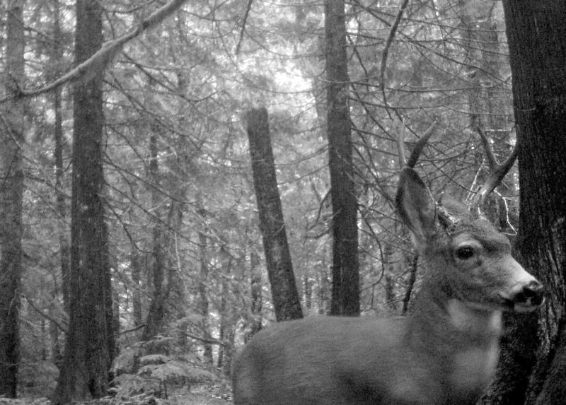 CONTRIBUTED PHOTO: PAUL KELLER - In driving on our rural and mountain area roads, there is always a risk that a wild animal might leap out directly in front of you. This isnt the unfortunate buck that Tony Kneidek and Paul Keller pledged to write poems about. That buck, rest his soul, was located in the Marmot area. This buck is cruising through the woods last fall, far away from any roadway, up on the wilderness ridge above Paul Kellers Zigzag area home.