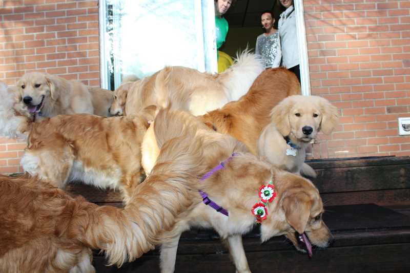 PAMPLIN MEDIA GROUP PHOTO: SAM STITES - A group of golden retrievers play at LexiDog Social Club in Lake Oswego in December 2017. Dogs that are highlty socialized through grooming, boarding, daycare, dog parks and dog shows are considered high risk for contracting canine influenza.
