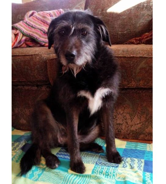 SUBMITTED PHOTO - Stella lived to be more than 15 years old, completing hundreds of walks in Oregon City.