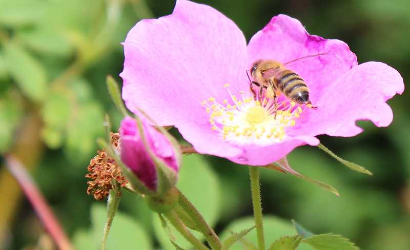 FILE PHOTO: THE SPOKESMAN - Creating pollinator-friendly habitats in your own backyard will be the focus of the March 10 event in Wilsonville.