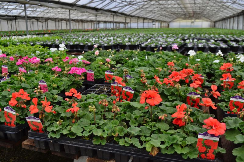 POST PHOTO: BRITTANY ALLEN - Al's Garden and Home grows and sells nursery stock, including annual and perennial flowers as well as trees.