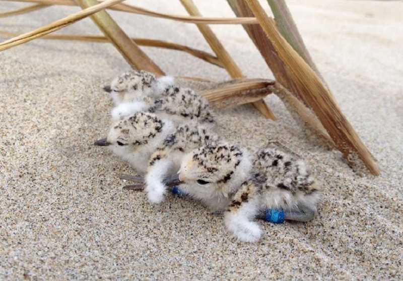 PHOTO COURTESY: ADAM KOTAICH - During nesting season, human disturbances can flush adult plovers away from their nests as they attempt to defend their young from the perceived predator.