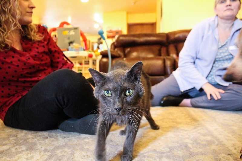 STAFF PHOTO: GEOFF PURSINGER - Buddy, a 16-year-old Russian Blue, was recently put on hospice through Lap of Love. Pet hospice services are a fast-growing segment of veterinary services across the country.